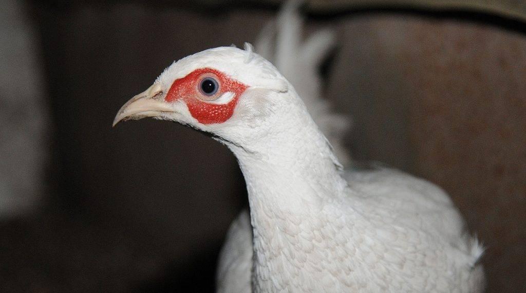 Обыкновенный фазан — википедия с видео // wiki 2