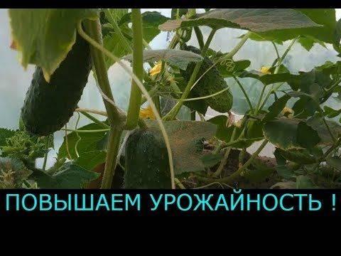 Выращивание огурцов от посева до сбора урожая – все ли хитрости вы знаете?