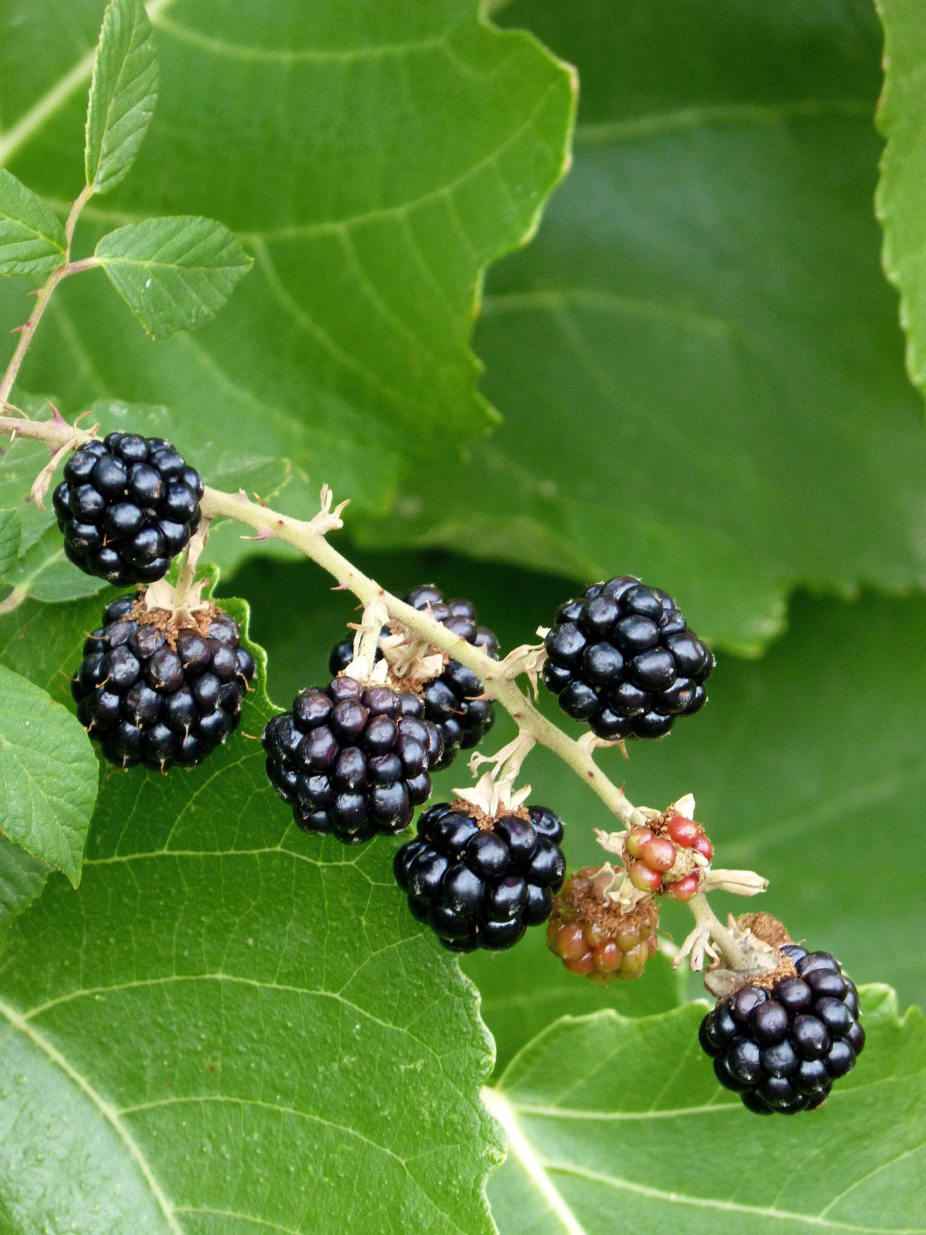 Шелковица — полезные свойства и противопоказания