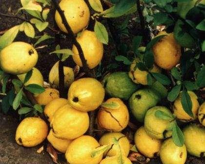 Айва японская: особенности посадки и ухода, фото растения