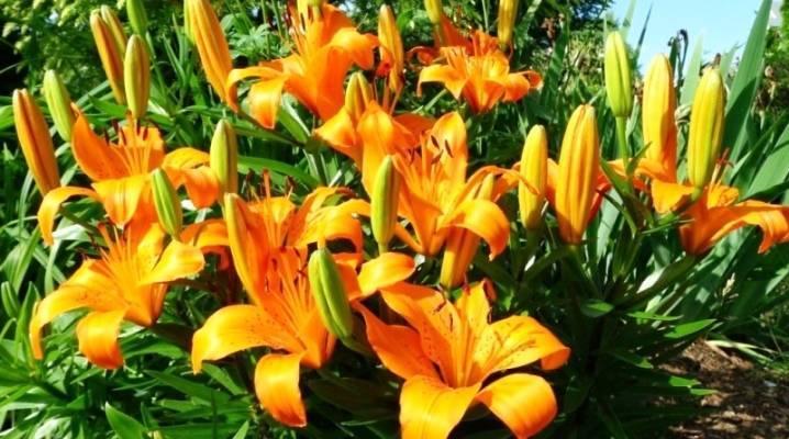 Почему эухарис (амазонская лилия) не цветет, желтеет, теряет листья