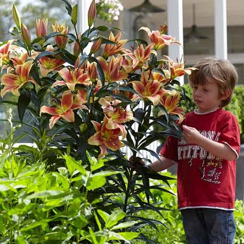 Правила выращивания лилии: посадка и уход в открытом грунте, в саду, фото