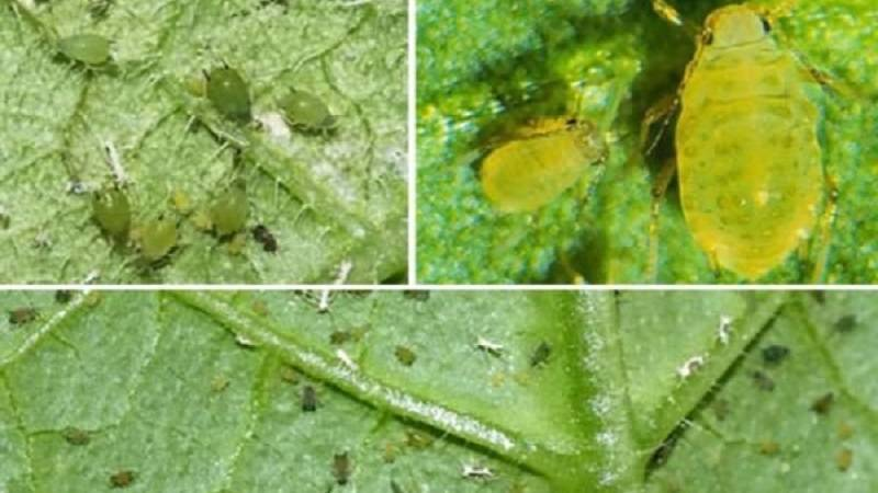 Появилась тля на огурцах снизу листьев. как с ней бороться? разные виды опрыскивания.