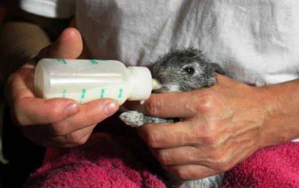 Что делать если крольчиха потеряла крольчат. крольчиха разбрасывает крольчат после окрола — что делать? инфекционный стоматит у кроликов