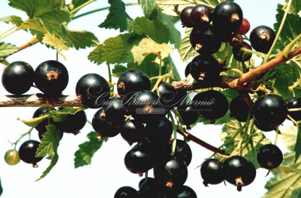 Сокровищница здоровья и пользы — чёрная смородина сорта «белорусская сладкая»