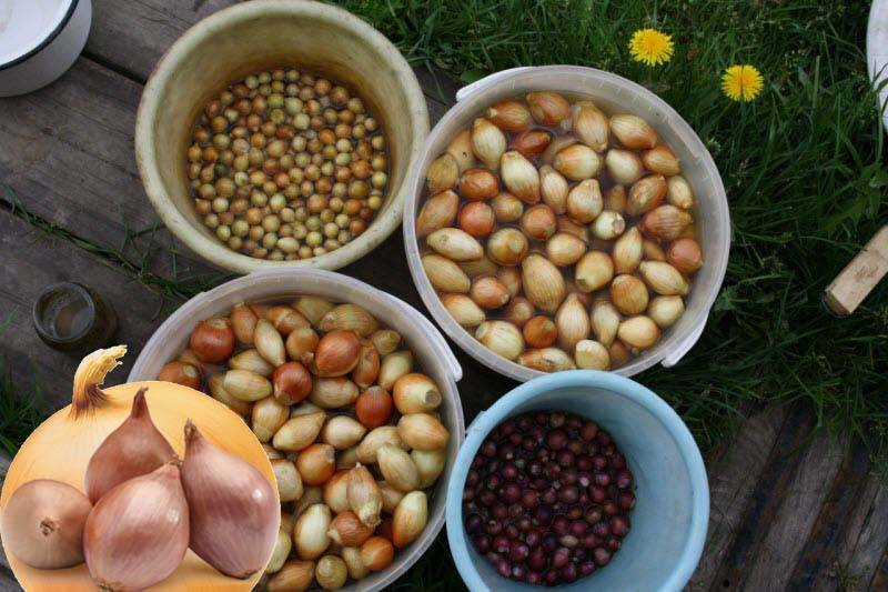 6 отличных способов обработки лука перед посадкой
