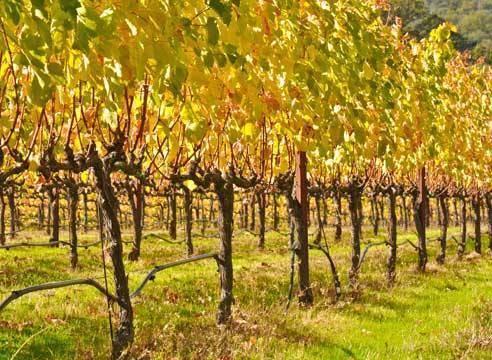 Правила формирования виноградного куста для начинающих