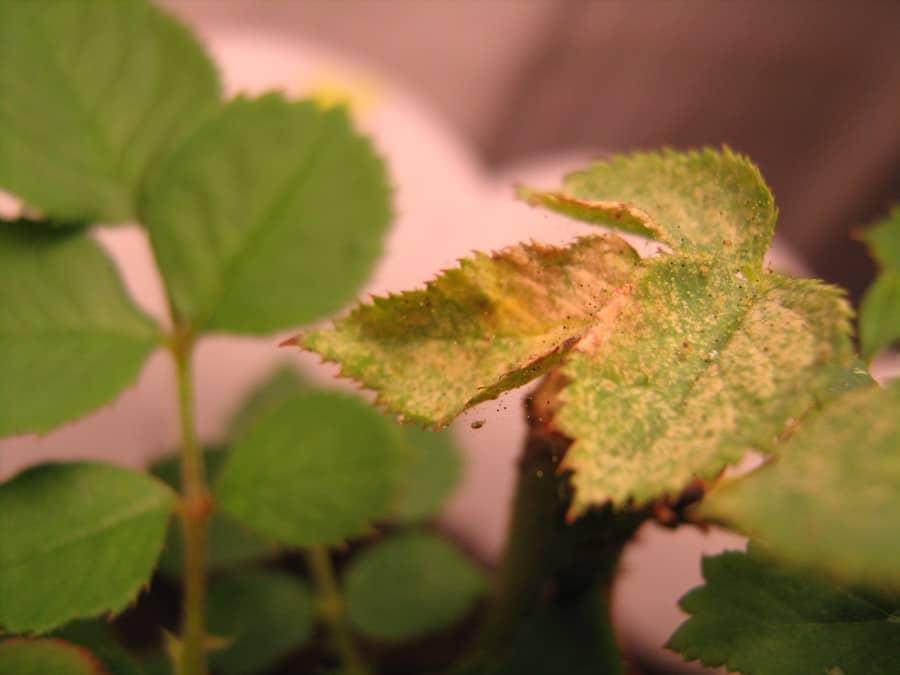 Паутинный клещ на розе – способы устранения вредителя