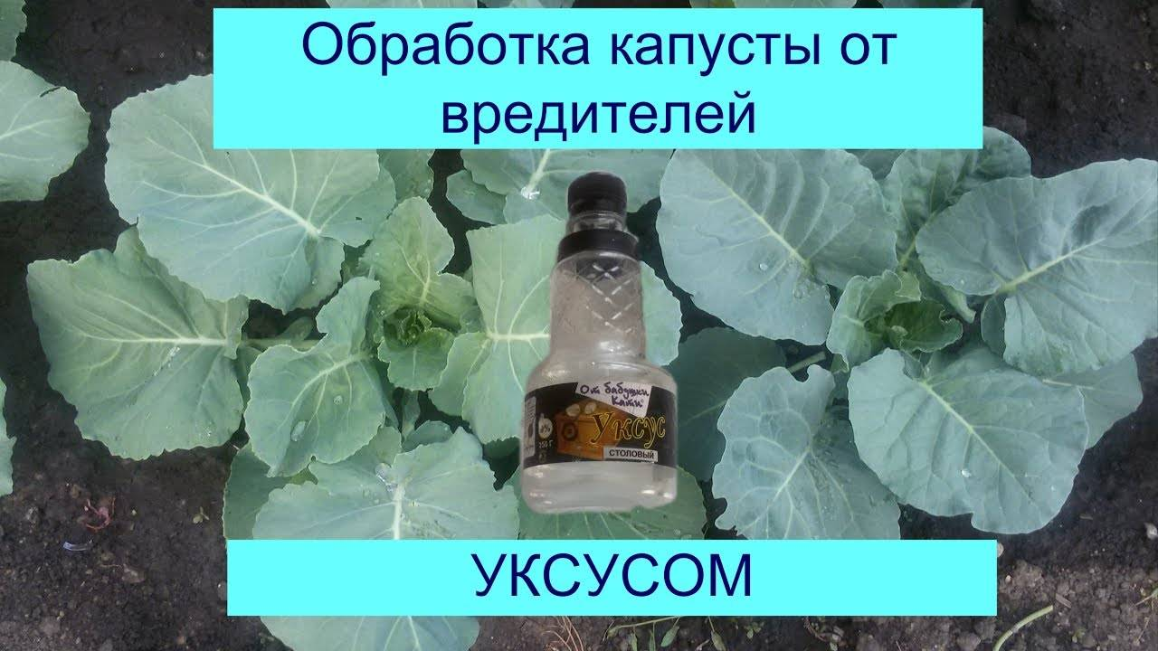 Чем обработать капусту от гусеницы. народные способы