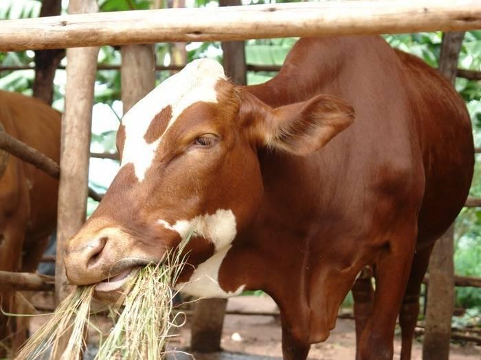 Что значит «яловая корова»