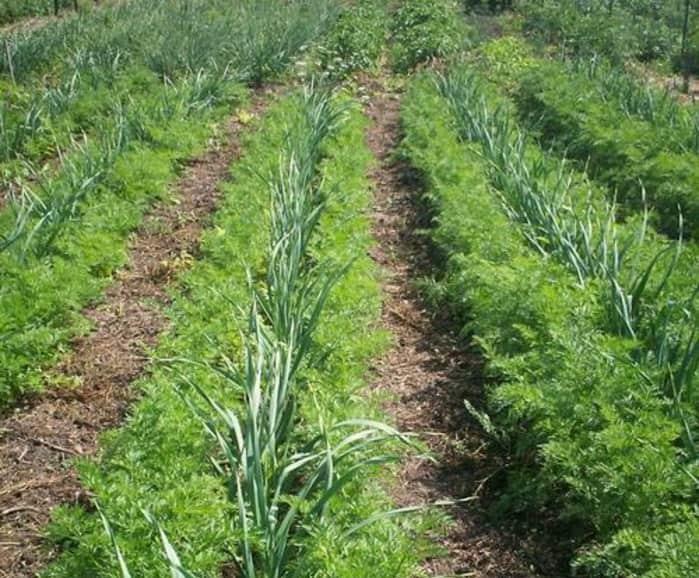 Выращивание чеснока - простые правила хорошего урожая