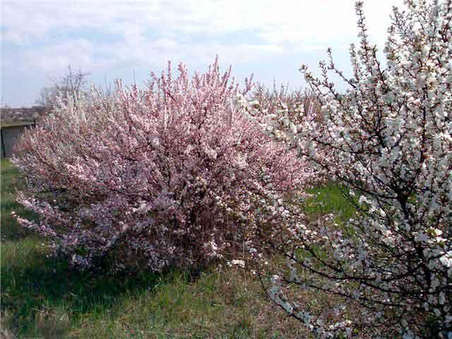 Вишня войлочная: посадка и уход, выращивание в саду в подмосковье