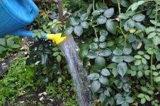 Чем подкормить розы во время бутонизации, для обильного цветения, осенью перед укрытием на зиму
