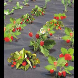Плюсы посадки клубники под укрывной материал