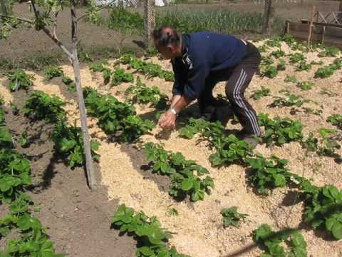 Как бороться со слизнями на клубнике: самые эффективные методики садоводов