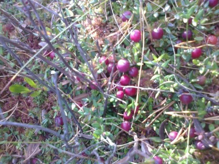Выращивание садовой клюквы