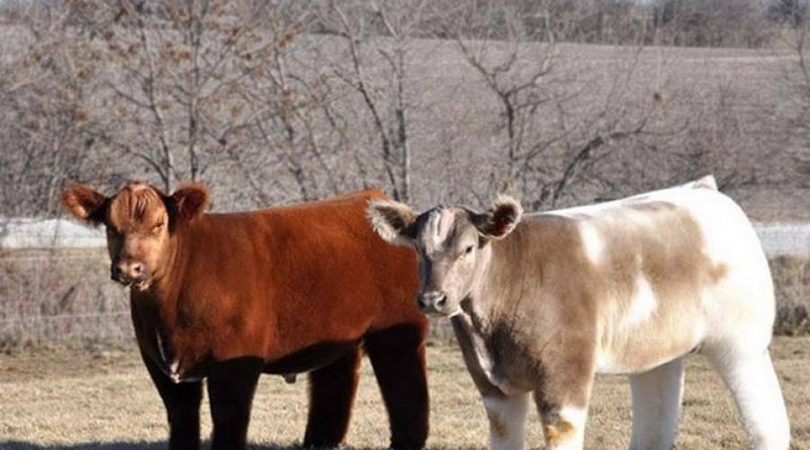 Корова плюшевая – живая и настоящая