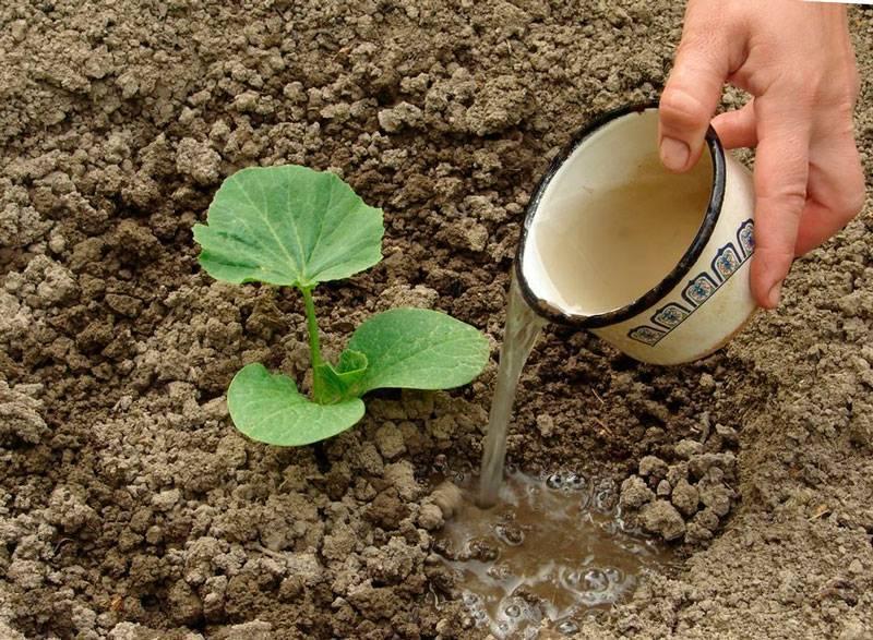 Тыква - посадка и уход в открытом грунте, чем подкормить и как формировать?