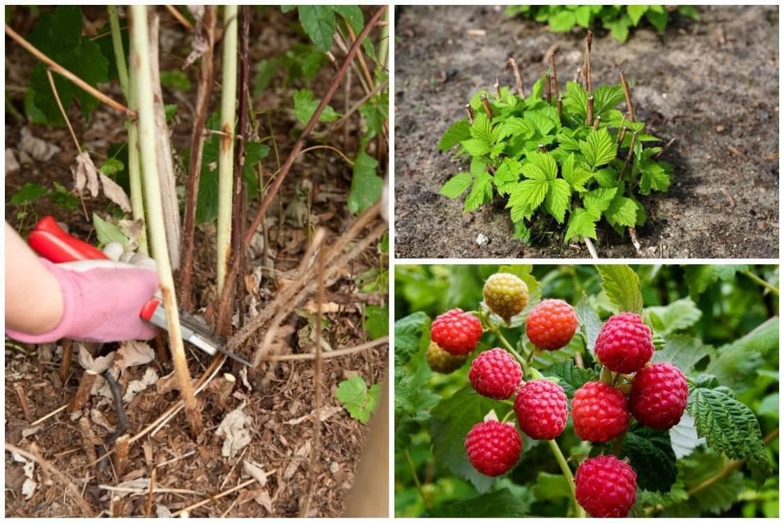 Малина: как ухаживать за ней, чтобы был хороший урожай? весной, летом, осенью и зимой: особенности полива, подкормки, обрезки кустарника и его ремонтантных сортов