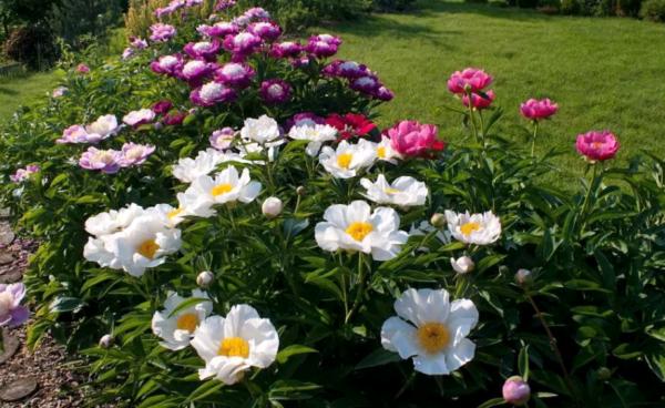 Идеальные трио. цветники из всего трех многолетников