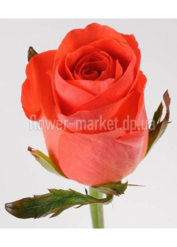 Об оранжевых розах: описание сортов плетистой кустовой розы оранжевого цвета