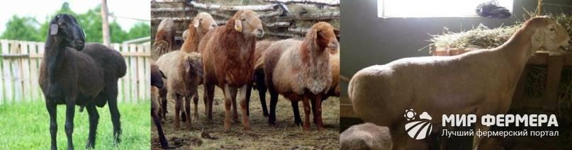 Описание и характеристика эдильбаевской породы овец. 2020