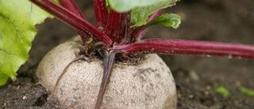 Выращивание свеклы рассадой, фото, пошаговая инструкция