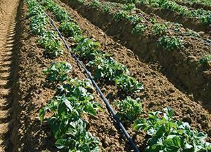 Когда и как правильно поливать картошку в открытом грунте? нужно ли поливать картофель после посадки.