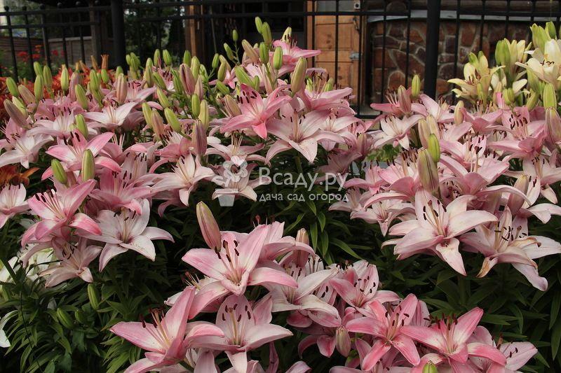 Лилии на дачном участке: выращиваем правильно