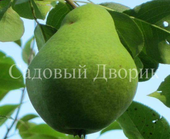 Груша чижовская: описание, фото, полная характеристика, когда снимать урожай, посадка и уход, сроки созревания