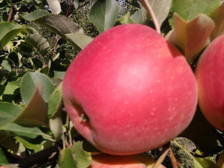 Описание и характеристики сорта яблони чемпион, история и нюансы выращивания