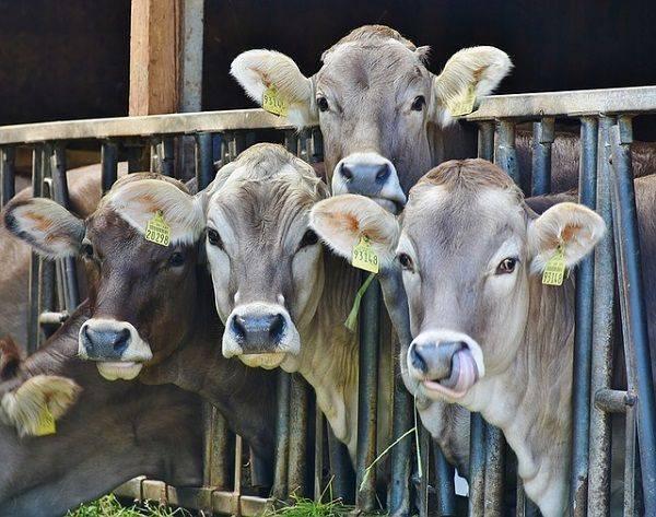Как остановить понос у коровы