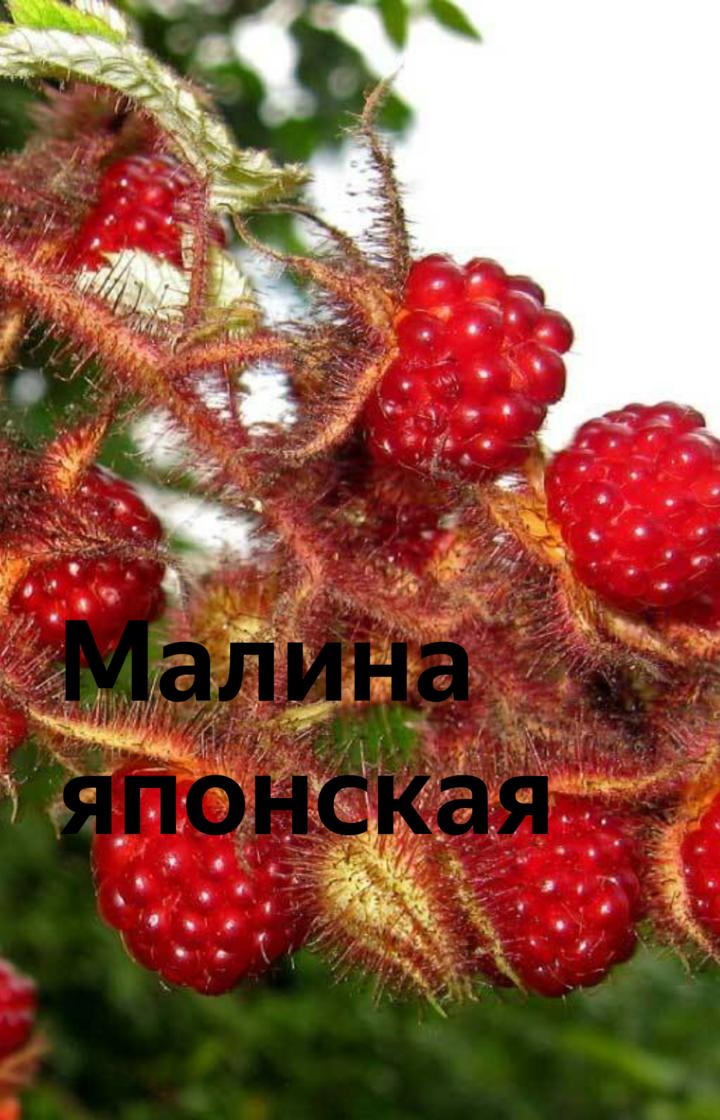 Малина пурпурноплодная – ягода страны восходящего солнца