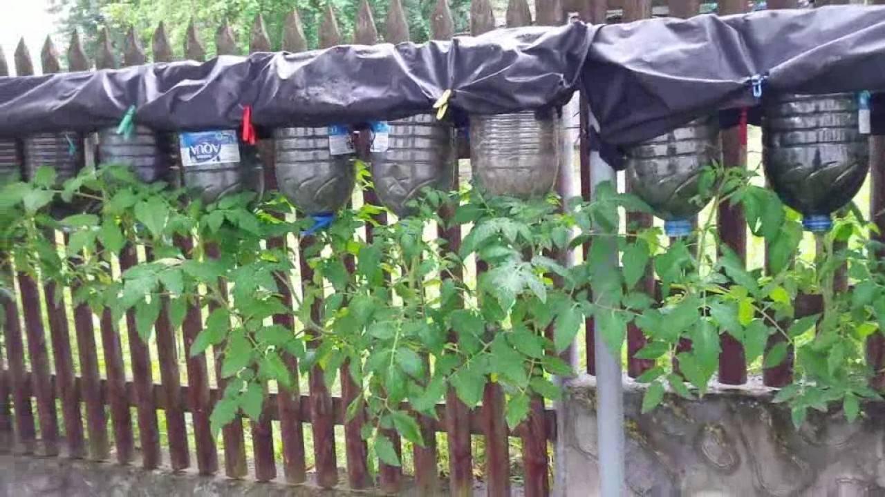 Оригинальный способ выращивания томатов вверх корнями