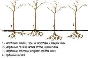 Инструкция по посадке яблонь весной