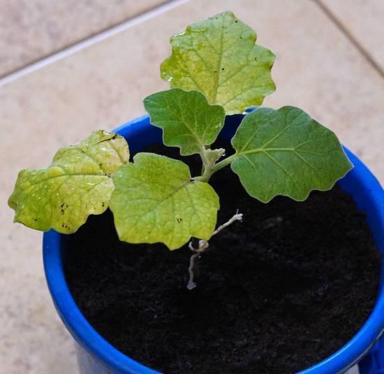 Что делать если у рассады баклажанов сохнут и закручиваются листья