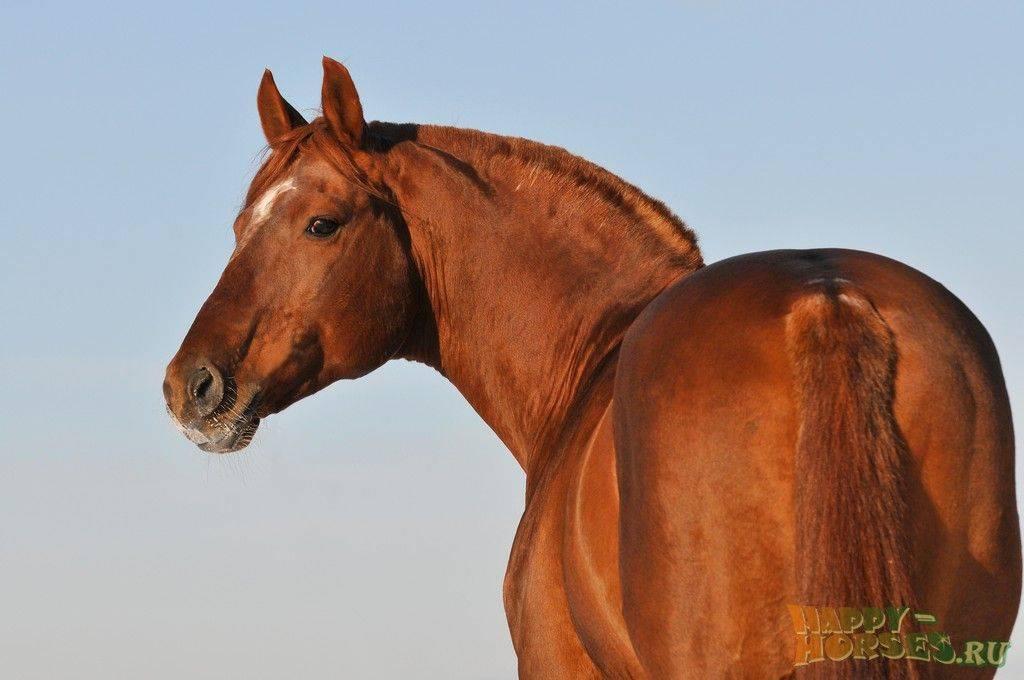 Характеристики и описание буденновской породы лошадей
