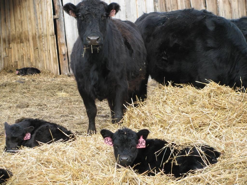 Преимущества и методы искусственного осеменения коров