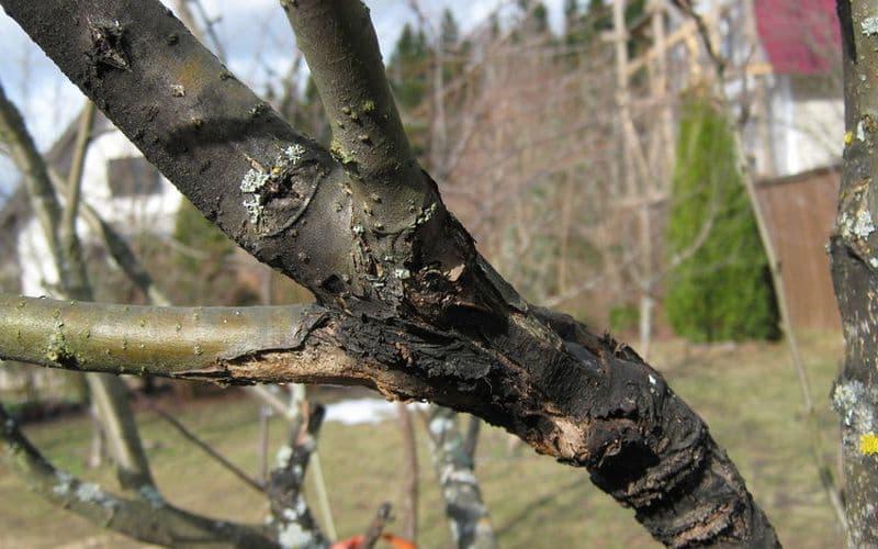 Что делать если на коре яблони появились трещины?
