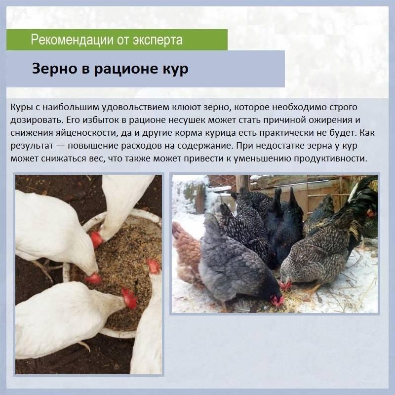 Чем кормить кур? виды кормов, нормы питания зимой и летом