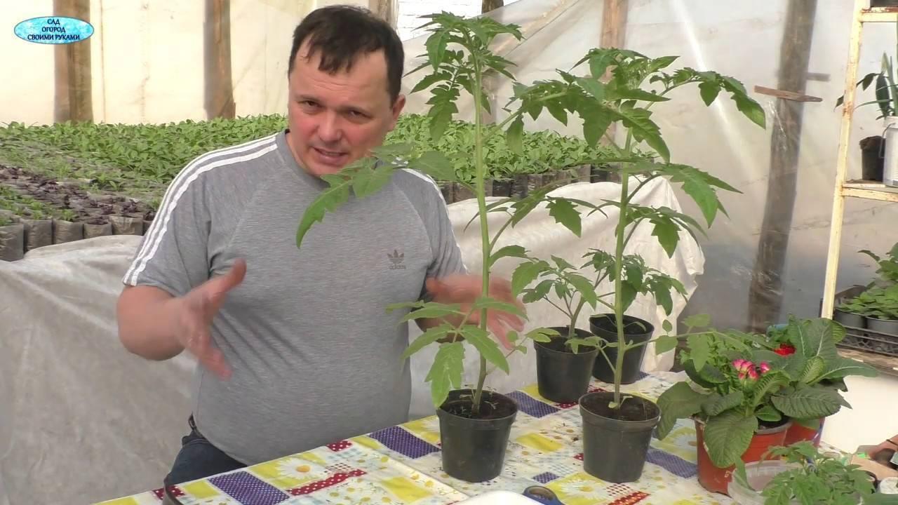 Как приостановить рост рассады помидор