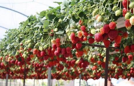Круглогодичное выращивание клубники в теплице: мечта или реальность?