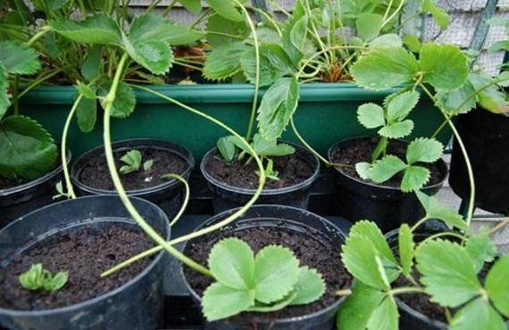 Когда садить клубнику весной: в каком месяце?