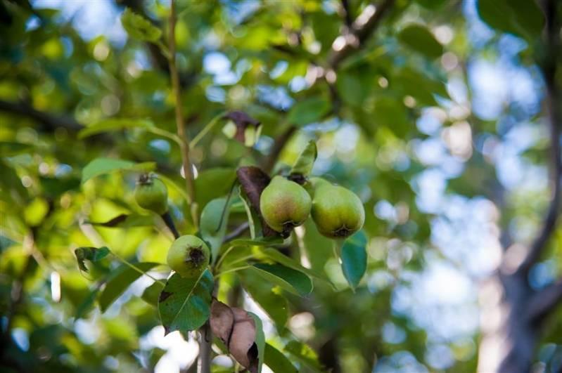Что посадить под яблонями в саду, можно ли сажать мяту, землянику или цветы