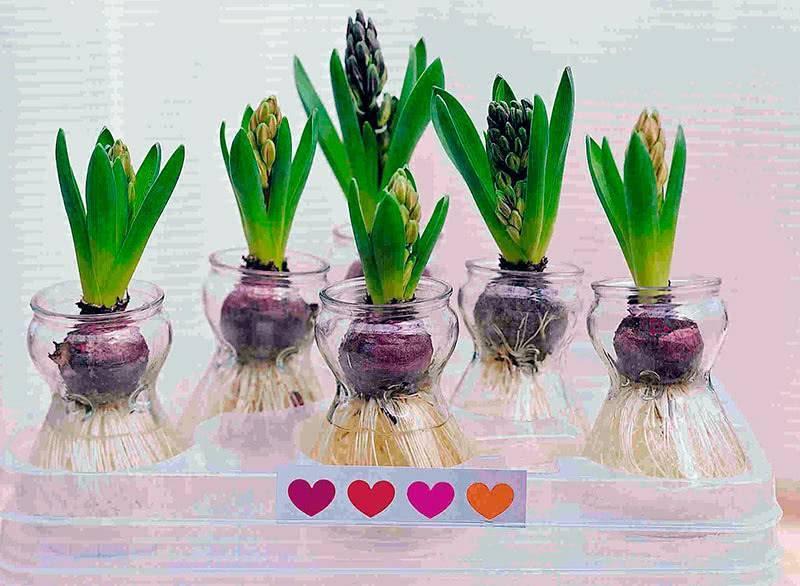 Гиацинты: посадка в открытый грунт и уход, выращивание в саду