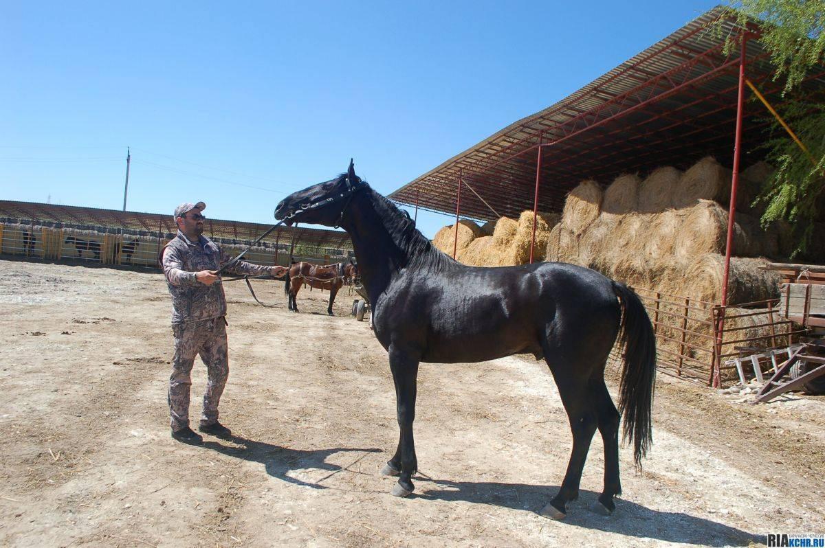 Характеристика и особенности карачаевской лошади