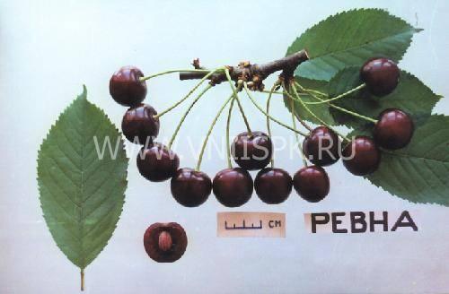 Как получить большой урожай черешни в средней полосе и подмосковье? личный опыт