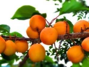 Как сажать абрикос: пошаговая инструкция и дальнейший уход