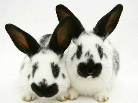 Выбираем декоративного кролика