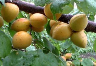Как правильно посадить абрикос весной в северных районах?